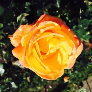 rose4