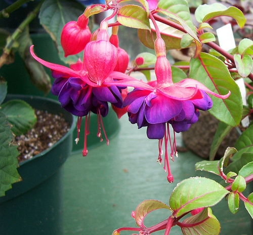 fuchsia-plants-1